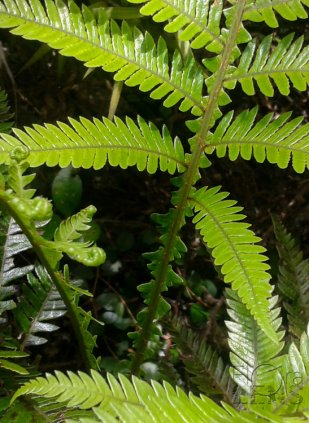 Winged frond stems