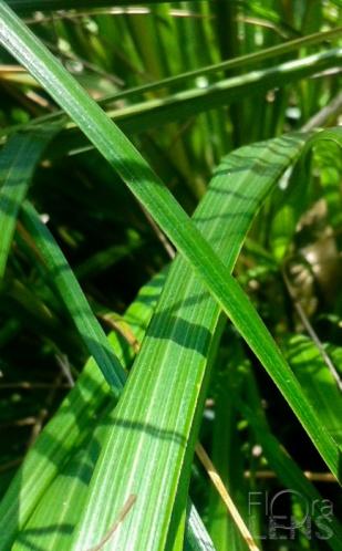 Like Toetoe, secondary veins are prominent between midrib and leaf edge