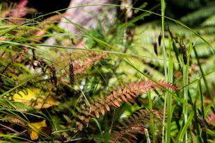 Young fronds emerge pink