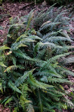 A patch of larger fronds - typical when in shade
