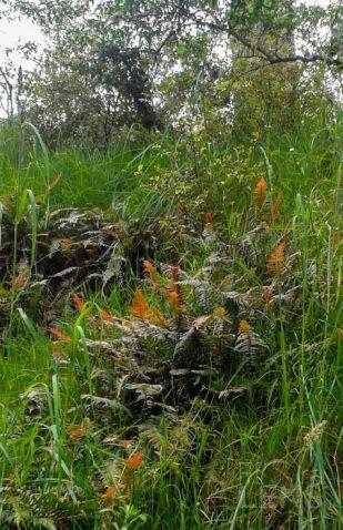 Rasp fern on a hillside