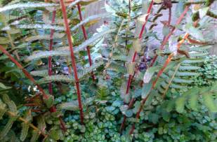 Frond stems