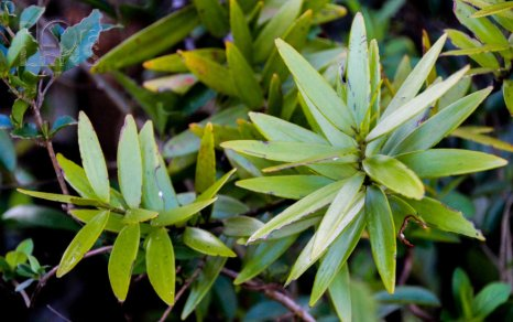 Thick, glossy leaves