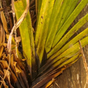Dark leaf bases