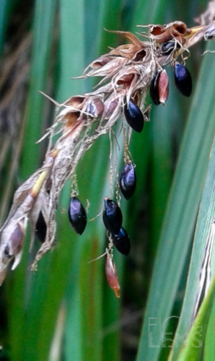 Dangling seeds