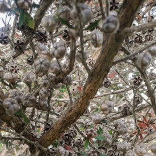 Dried seed capsules