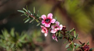 Pink variety