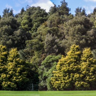Golden Totara
