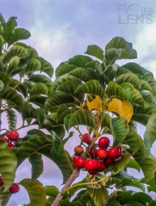 Puriri fruit